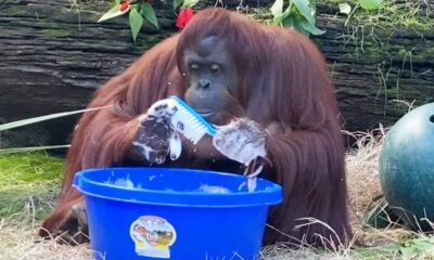 Sandra the Orangutan washes her hands and enclosure after observing zookeepers do it