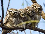 We've got our eyes on twit-twoo: Adorable owls keep a watch out for danger