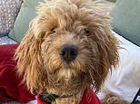 Moment jogger rescues eight-month-old Cockapoo called Fudge after puppy plunged into the Thames