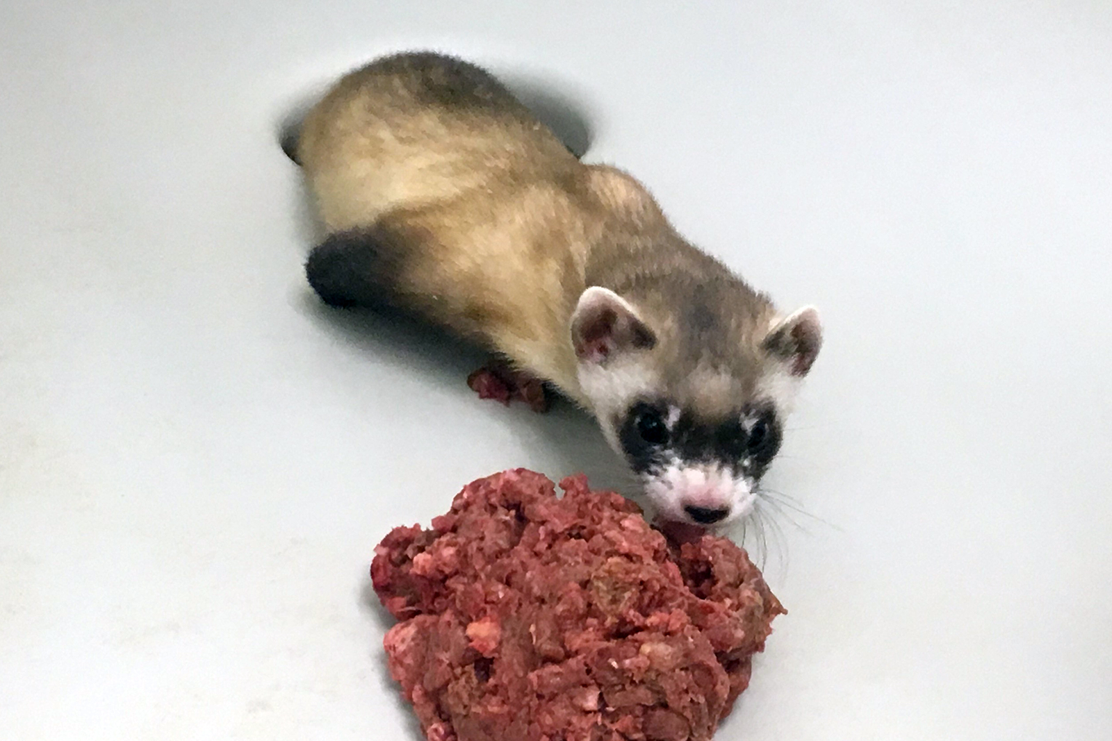 A ferret is the first North American endangered animal to be cloned