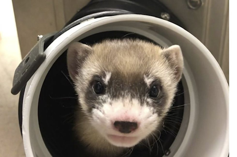 This Ferret Died 33 Years Ago. Scientists Just Brought Her Back to Life.