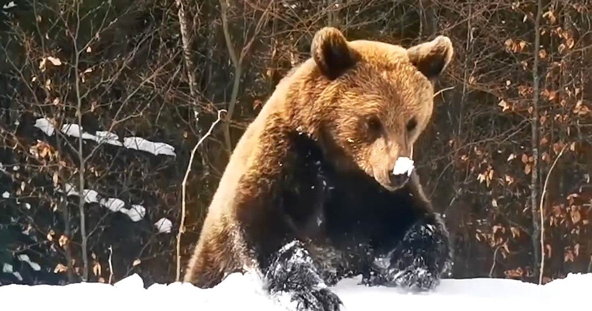 Watch: Bear appears on ski slope, chases skier down trail