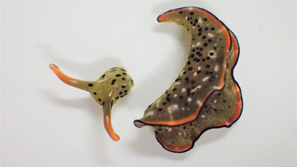 Researchers discover a sea slug's detached head can crawl around and grow a whole new body