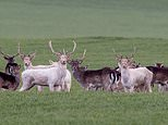 Onlookers are amazed to spot THREE rare white stags grazing together in a field