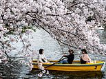 Japan's famous cherry blossoms bloom earlier than any year since first records began in 812