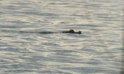 Watch: Escaped pet alligator captured while floating in Pennsylvania river