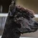 Owner of doomed alpaca Geronimo vows to film 'every moment' of his killing