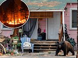 Bear activity in South Lake Tahoe reaches historic  high after residents flee Caldor Fire