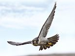 In beauty spots across Britain, callous thieves are earning fortunes by snatching falcon eggs