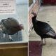 Penny the turkey is shot dead and given to a family in need for Thanksgiving